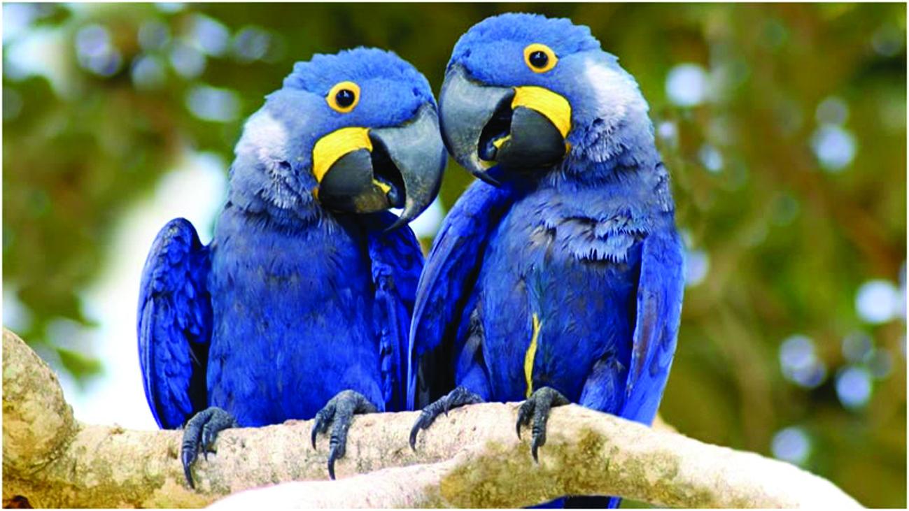 Populares Dia de Defesa da Fauna: Arara-Azul QE36